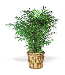 Bamboo Palm In Louisville, KY, In Kentucky, Schmitt's Florist