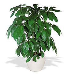 Schefflera In Louisville, KY, In Kentucky, Schmitt's Florist