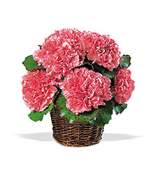 Carnation Expression In Louisville, KY, In Kentucky, Schmitt's Florist